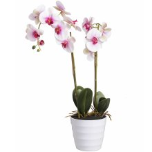 Eternity Pink Burst Potted Orchid -  eternity pink burst potted orchid