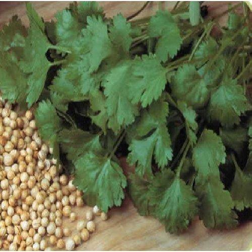Organic Herb - Coriander - Cilantro - 3000 Seeds