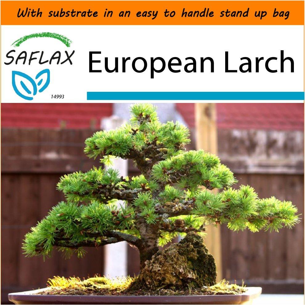 African Wisteria Tree Bolusanthus speciosus 15 Seeds Garden in The Bag SAFLAX Bonsai