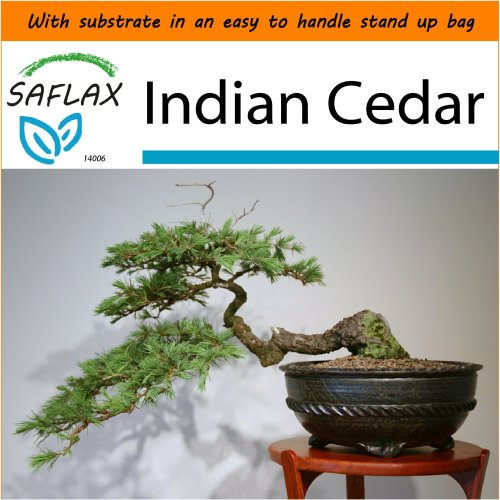 SAFLAX Garden in the Bag - Bonsai - Indian Cedar - Cedrus - 35 seeds