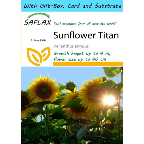 Saflax Gift Set - Sunflower Titan - Helianthus Annuus  - 20 Seeds - with Gift Box, Card, Label and Potting Substrate