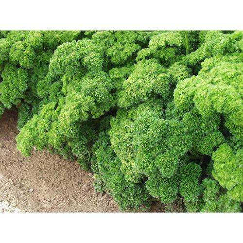 Organic Herb - Parsley - Grune Perle - 600 Seeds